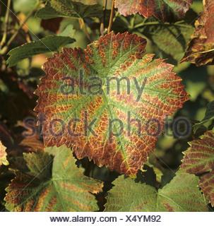 Magnesium deficiency symptoms on Pinot Noir grapevine leaf - Stock Photo