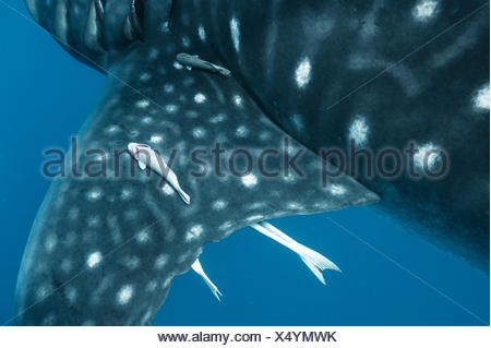 Remoras cling to a whale shark's large pectoral fin Stock Photo: 75554708 - Alamy - photo#6