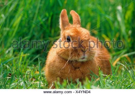 Dwarf rabbit in a meadow. Germany - Stock Photo