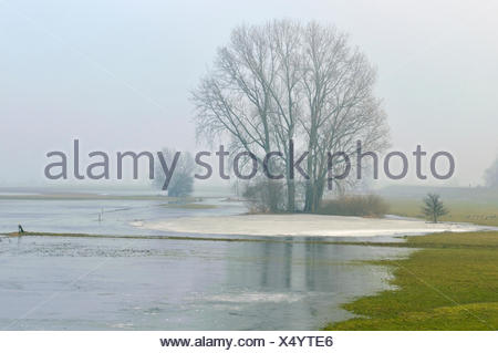 Grey Willow (Salix cinerea) at outer marches during winter with low water level with ice, The Netherlands, Overijssel, National Landscape IJsseldelta - Stock Photo