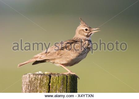 Crested Lark (Galerida critata) - Stock Photo