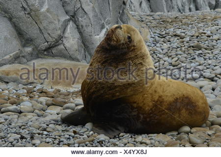 A steller sea lion resting on Cape Kekurny in the Sea of Okhotsk. - Stock Photo