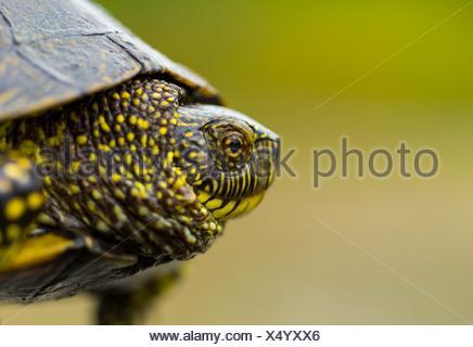 European pond turtle (also called the European pond terrapin), (Emys orbicularis), Campanarios de Azaba Biological Reserve, Salamanca, Castilla y - Stock Photo