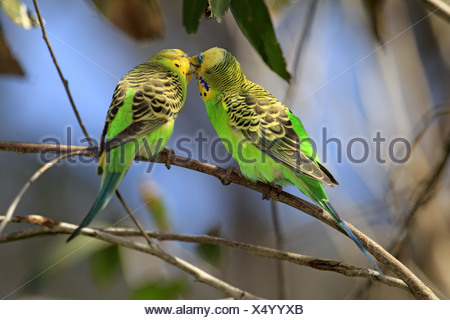 Budgerigar (Melopsittacus undulatus) adult pair, 'billing' courtship behaviour, Alice Springs, Northern Territory, Australia - Stock Photo