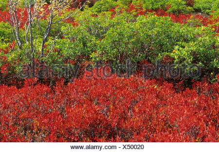 fall coloured blueberry bushes Dolly Sods - Stock Photo