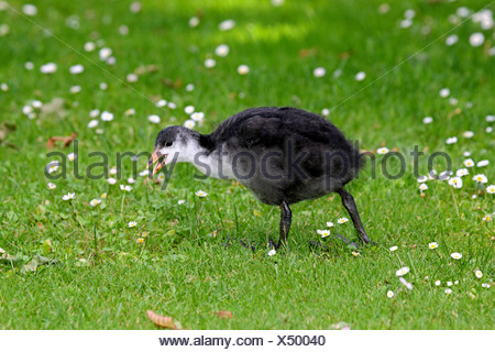 black coot (Fulica atra), chick walking across a meadow calling, Germany - Stock Photo