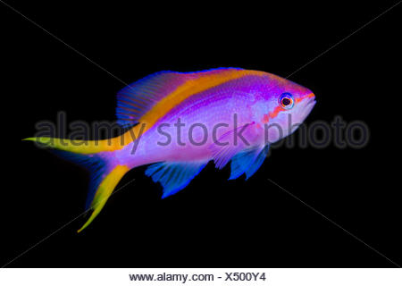 Portrait of Purple anthias (Pseudanthias tuka) swimming in open water. Cape Kri, Kri Island, Raja Ampat, West Papua, Indonesia. Tropical West Pacific Ocean. Dampier Strait. - Stock Photo