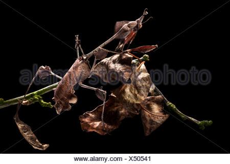 Violin Mantis female showing excellent camouflage amongst dead leaves. Captive. Distribution: India & Sri Lanka. - Stock Photo