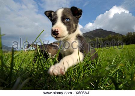 An Alaskan husky puppy, Finnmark, Norway, Europe - Stock Photo