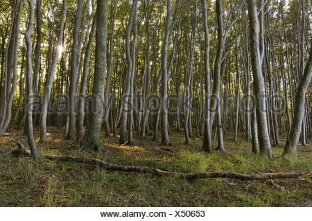 common beech (Fagus sylvatica), forest in the National Park Jasmund, Germany, Mecklenburg-Western Pomerania, Ruegen, Jasmund National Park - Stock Photo
