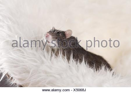 fancy rat at sheepskin - Stock Photo