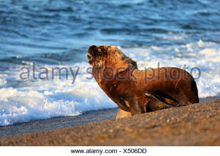 Southern sea lion, South American sea lion, Patagonian sea lion (Otaria flavescens, Otaria byronia), bull walking in the water, Argentina, Patagonia, Valdes - Stock Photo