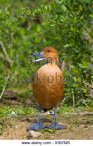 Fulvous Whistling-Duck (Dendrocygna bicolor) near Houston, Texas, USA - Stock Photo