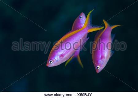 Purple Fairy Basslet, Pseudanthias tuka, Flores, Indonesia - Stock Photo