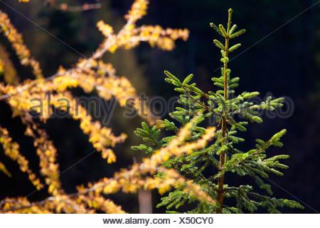 Spruce and larch twig, Salzburger Land, Austria, Europe - Stock Photo