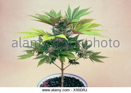 Cannabis female plant in flowerpot, Indica dominant hybrid in flowering phase. - Stock Photo