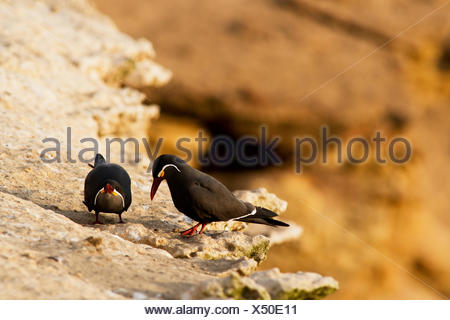A pair of Inca Tern, Larosterna inca, court on a high cliffside, Peru. - Stock Photo