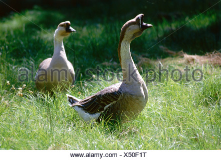 zoology / animals, avian / birds, Swan Goose, (Anser cygnoides forma domestica), two geese in meadow, distribution: Europe, anim - Stock Photo