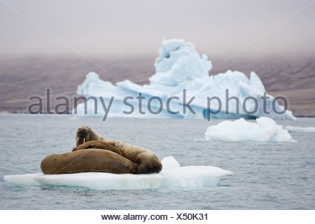Atlantic Walrus (Odobenus rosmarus rosmarus) two adults and pup hauled out on small slab of ice with weathered 'blue ice' - Stock Photo