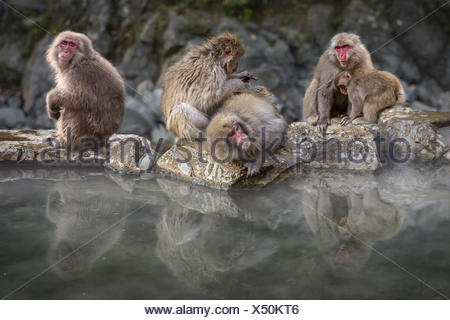 Group of snow monkeys sitting by hot spring, Nagano, Honshu, Japan - Stock Photo