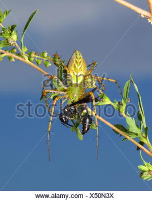 A green lynx spider, Peucetia viridans, preying on a wasp. - Stock Photo
