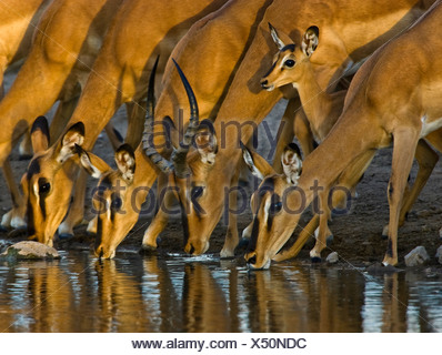 Black faced Impala drinking at waterhole, Etosha pan, Namibia - Stock Photo