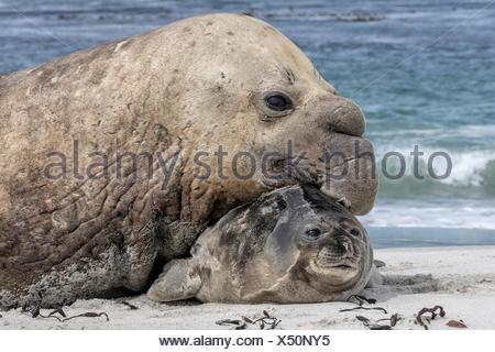 Southern Elephant Seal bull - Mirounga leonina - with captured pup - Stock Photo