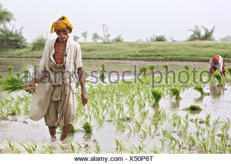 Paddy farmers in a paddyfield, Larkana, Pakistan - Stock Photo