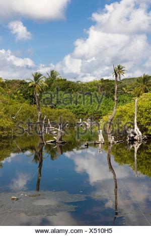 Swamp with dead trees, Big Corn Island, Caribbean Sea, Nicaragua, Central America - Stock Photo