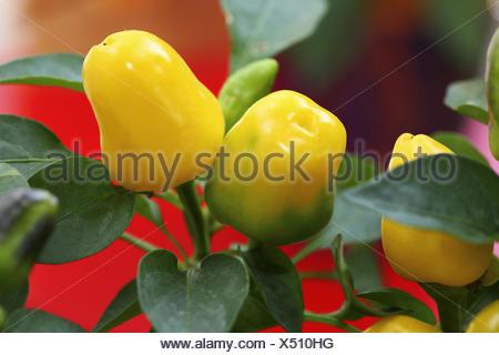 Paprika plant, Capsicum annuum, autumn, - Stock Photo