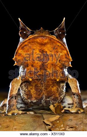 Portrait of Bornean Horned Frog amongst leaf-litter in forest floor, taken at night. Danum Valley, Sabah, Borneo. - Stock Photo