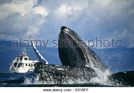 Humpback Whales bubblenet feeding, Chatham Straits, Southeast. Alaska - Stock Photo