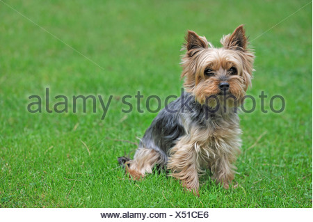 Yorkshire Terrier (Canis lupus f. familiaris), sitting in a meadow - Stock Photo
