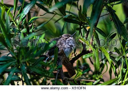 nesting Anna's hummingbird, calypte anna, Arizona, nest, USA, United States, America, hummingbird, - Stock Photo
