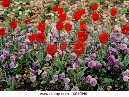 Red tulips and purple viola flowers growing in park. Botanical Gardens. Sydney. Australia. - Stock Photo