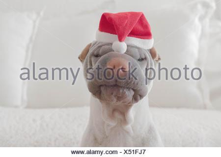 Portrait of shar-pei dog wearing christmas hat - Stock Photo