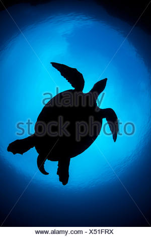 Silhouette of large male Hawksbill turtle (Eretmochelys imbricata) swimming in open water above coral reef. Boo West, Misool, Raja Ampat, West Papua, Indonesia. Tropical West Pacific Ocean. Ceram Sea. - Stock Photo