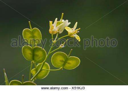 Buckler mustard (Biscutella laevigata, Biscutella valentina var. laevigata), with flowers and fruits, Germany - Stock Photo