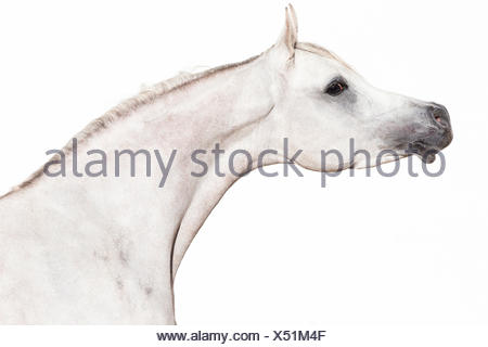 Arabian Horse. Portrait of gray stallion seen against a white backgrund. Egypt - Stock Photo