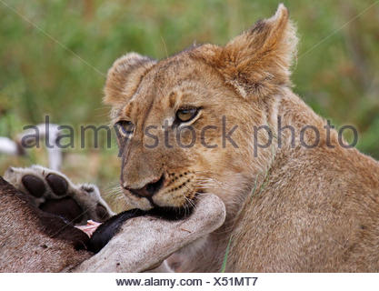 lioness with a kill in south africa - Stock Photo