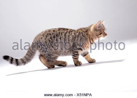 British Shorthair (Felis silvestris f. catus), little striped kitten, side view - Stock Photo