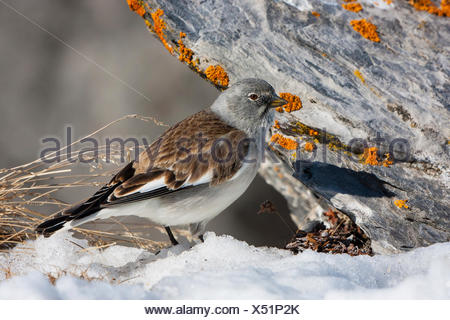 white-winged snow finch (Montifringilla nivalis), sitting in snow beside on a lichen-covered rock, Switzerland, Valais, Leukerbad - Stock Photo