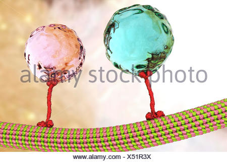 Intracellular transport. Computer illustration of vesicles (spheres) being transported along a microtubule by a kinesin motor protein. Kinesins are able to 'walk' along microtubules. Microtubules are polymers of the protein tubulin and are a component of the cytoskeleton. - Stock Photo
