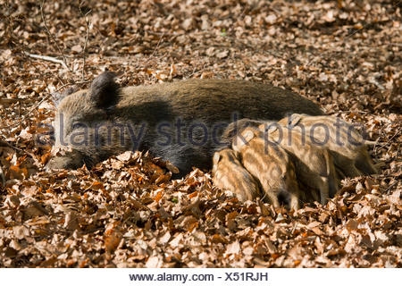 Wild Boars (Sus scrofa), sow suckling piglets, captive, North Rhine-Westphalia, Germany - Stock Photo