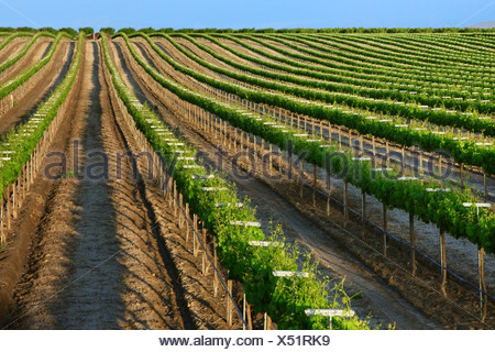 Agriculture - A rolling Muscat wine grape vineyard showing late Spring foliage growth in late afternoon sun / California. - Stock Photo
