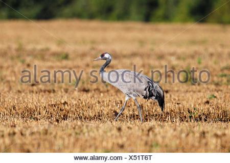 Crane on harvested cornfield, gray crane (Grus grus), bird migration, fall migration, Rügen-Bock region - Stock Photo