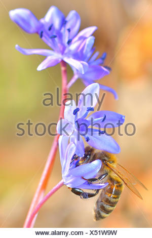 beautiful violet flower and a bee is gathering honey. - Stock Photo