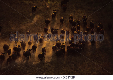 Syncerus caffer caffer Cape buffalo herd seen from the air moving across the landscape in Botswana Botswana - Stock Photo