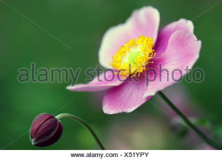 anemone tomentosa - Stock Photo