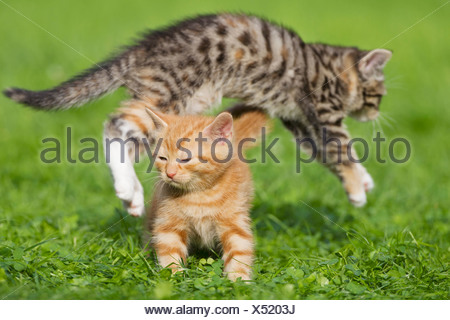Germany, Kittens in meadow, close up - Stock Photo
